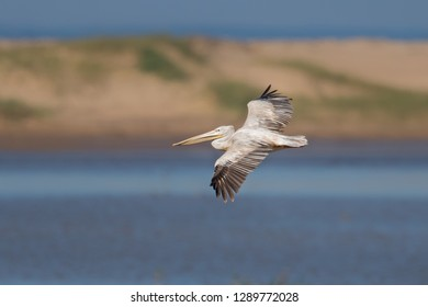 A Pink backed Pelican (Pelecanus rufescens) in flight against a blurred natural background, St Lucia estuary, South Africa