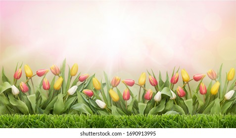 A pink background image of a tulip field and green grass lawn on a sunny Easter spring day.