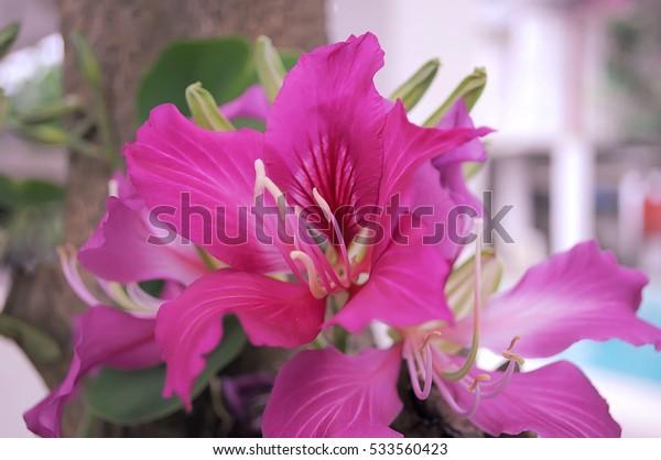 Pink bauhinia in garden