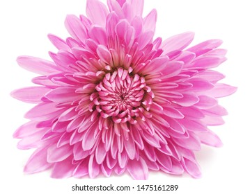 Pink beautiful chrysonthemum isolated on white background.