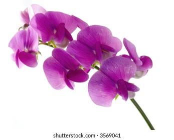 pink, beautiful sweet pea isolated on white background (soft focus)