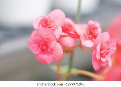 Pink Begonia flower in in blurry diffuse image style and soft tone color.