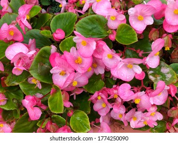 Pink begonia flowers with green leaves for gardening and background ideas