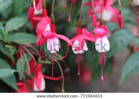 Pink Bell Flowers Stock Photo Edit Now 711064651 Shutterstock