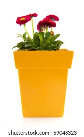Yellow flower pot images stock photos vectors shutterstock pink bellis in yellow flower pot isolated over white background mightylinksfo