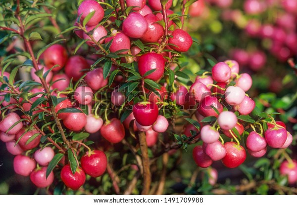 Pernettya Pink.Pink Berries Chilean Pernettya Stock Photo Edit Now 1491709988