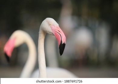 Pink big birds Greater Flamingos, Wildlife animal scene from nature.