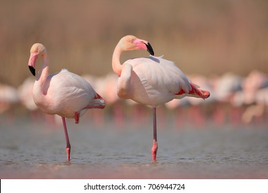 Pink big birds Greater Flamingos, Phoenicopterus ruber, in the water, Camargue, France. Flamingos cleaning feathers. Wildlife animal scene from nature.