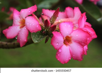 Pink Bignonia flower or Adenium flower, Adenium multiflorum, pink desert rose on the tree. Beautiful pink azalea or Impala Lily flowers in a fresh pink flower garden for backgrounds - images / ornamen