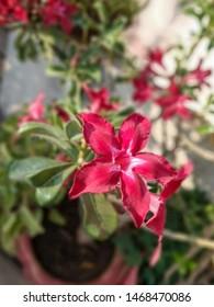 Pink Bignonia flower or Adenium flower, Adenium multiflorum, pink desert rose on the tree. Beautiful pink azalea or Impala Lily flowers in a fresh pink flower garden.