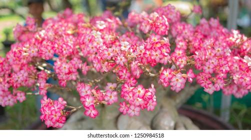 Pink bignonia flowers or Adenium flower,Adenium multiflorum, Desert Rose .beautiful pink flower in garden,impala lily, Sabie star, kudu lily, with sun light under big tree.