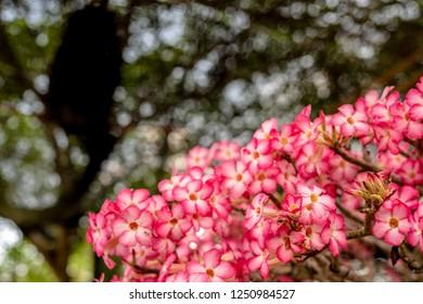 Pink bignonia flowers or Adenium flower,Adenium multiflorum, Desert Rose .beautiful pink flower in garden,impala lily, Sabie star, kudu lily, with bokeh tree background and copy space.