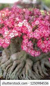 Pink bignonia flowers or Adenium flower,Adenium multiflorum, Desert Rose .beautiful pink flower in garden,impala lily, Sabie star, kudu lily.
