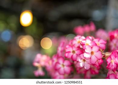 Pink bignonia flowers or Adenium flower,Adenium multiflorum, Desert Rose .beautiful pink flower in garden,impala lily, Sabie star, kudu lily, with light bokeh background and copy space.