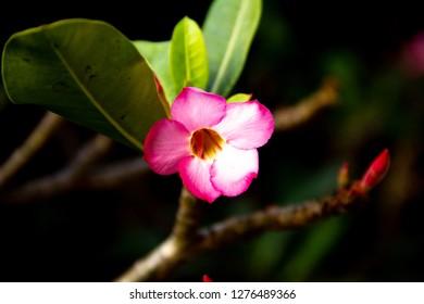 Pink bignonia flowers or Adenium flower,Adenium multiflorum, Desert Rose on tree.
