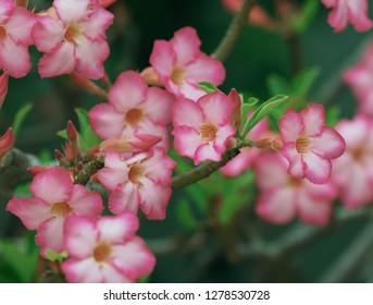 Pink bignonia flowers or Adenium flower,Adenium multiflorum, Desert Rose .beautiful pink flower in garden.