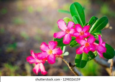 Pink bignonia flowers or Adenium flower,Adenium multiflorum,Pink Desert rose flower in the garden with blurry green leaf.beautiful pink azalea flower in garden.Desert rose.