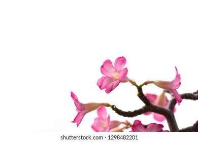 Pink bignonia flowers or Adenium flower,Adenium multiflorum, Desert Rose .beautiful pink flower in garden,impala lily, Sabie star, kudu lily on white background.