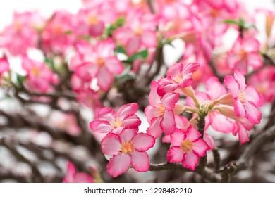 Pink bignonia flowers or Adenium flower,Adenium multiflorum, Desert Rose .beautiful pink flower in garden,impala lily, Sabie star, kudu lily, with light bokeh background.