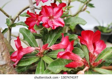 Pink bignonia flowers or Adenium flower,Adenium multiflorum,Pink Desert rose flower in the garden with blurry green leaf.