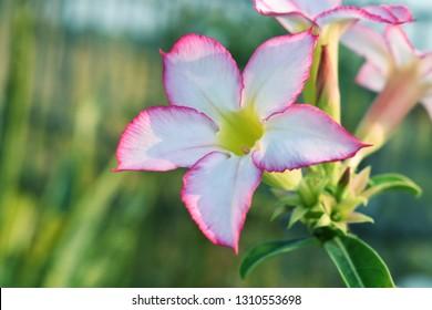 Pink bignonia flowers or Adenium flower,Adenium multiflorum, Pink Desert Rose on tree .beautiful pink azalea or Impala Lily flower in garden. Fresh pink flower for background