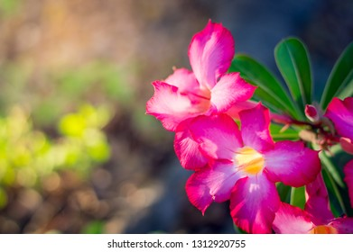 Pink bignonia flowers or Adenium flower,Adenium multiflorum,Pink Desert rose flower in the garden with blurry green leaf.beautiful pink azalea flower in garden.Closeup of Desert rose.