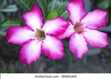 Pink bignonia flowers on background,Azalea flowers