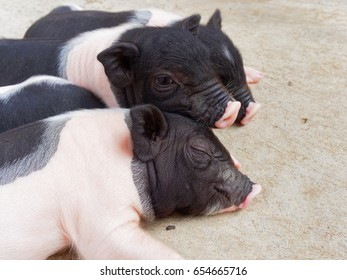 Pink and black newborn piglets sleeping and cuddling in the farm show concept of brotherhood, family and love