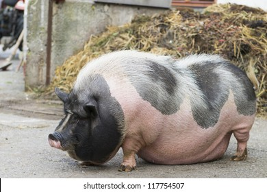 pink and black speckled pot-bellied pig stands in front of  dungheap