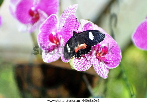 Pink and black winged butterfly perched on a purple orchid