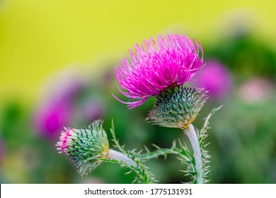 Pink Blessed milk thistle flowers, close up. Silybum marianum herbal remedy, Saint Mary's Thistle, Marian Scotch thistle,  Mary Thistle, Cardus marianus bloom