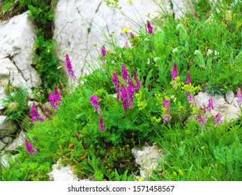 Pink blooming alpine sainfoin (Hedysarum hedysaroides) alpine flowers growing on the slopes bellow Crna Prst in Triglav national park and Julian alps, Slovenia - Shutterstock ID 1571458567
