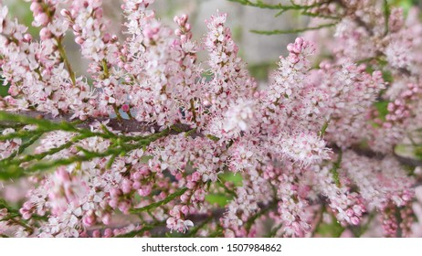 Pink Blooming banche Tamarix tetrandra. Four Stamen Tamarisk.Tamarix tetrandra