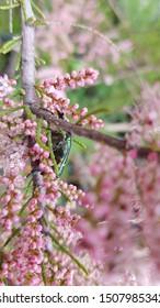 Pink Blooming banche Tamarix tetrandra. Four Stamen Tamarisk..Tamarix tetrandra
