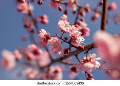 pink blooming blood plum in spring, bright blue sky in the backround/ blood plum blossom