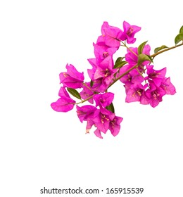 Pink blooming bougainvilleas isolate on white background with Clipping path.