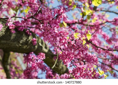 Pink Blooming branches of Judas tree or Cercis siliquastrum with blue sky