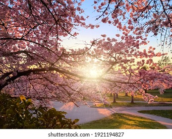 Pink blooming cherry trees. Sunset rays of the sun shine through the branches. Blooming trees in the park. Spring at Queen Elizabeth Park, Vancouver