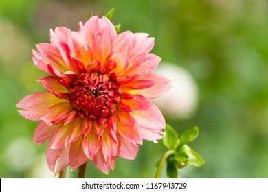 Pink blooming Dahlia Flower.