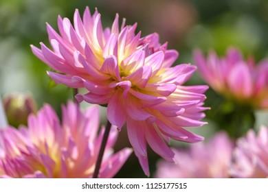 pink blooming Dahlias (Dahlia)