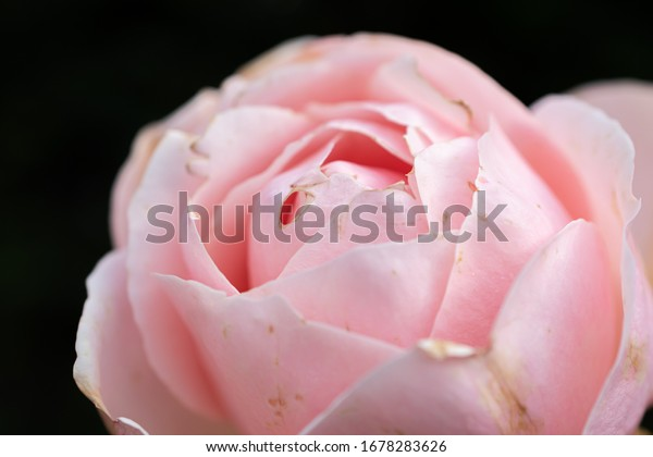 Pink blooming flower with black background