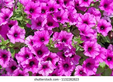 Pink blooming Ipomoea flower in garden, background