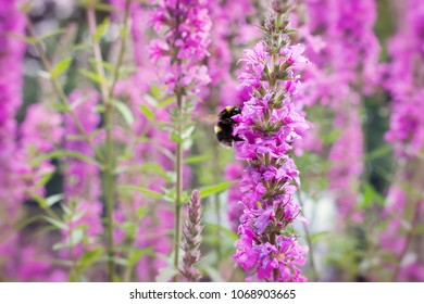 Pink blooming Loosestrife flowers and bumblebee insect in a wild nature garden in spring or summer.
