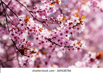 Pink blooming magnolia tree, for a background