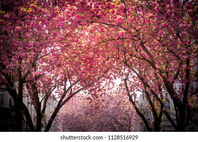 Pink blooming tree avenue