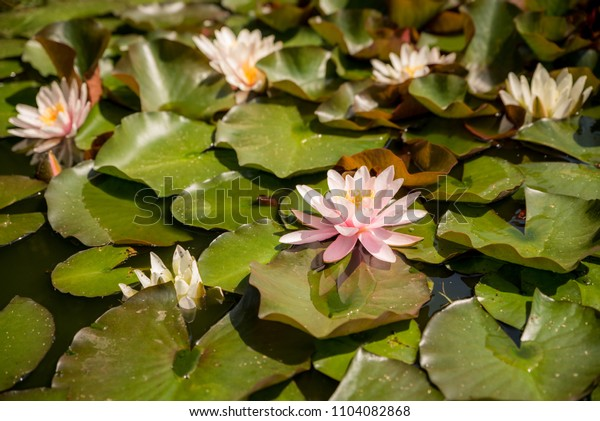 Pink blooming water lily in a natural lake