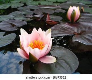 Pink blosom of water-lily