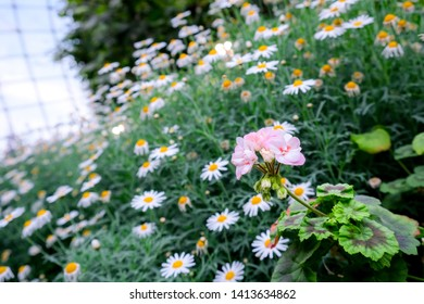 Pink Blossom Bokeh Sun Flower