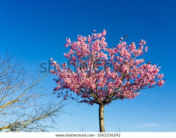 Pink blossom flowers and blue clear sky background on sunny day