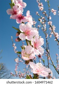pink blossom of Prunus persica tree